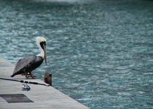 鹈鹕在沿着钓鱼竿的壁架栖息在基韦斯特岛的,佛罗里达海洋附近 库存图片