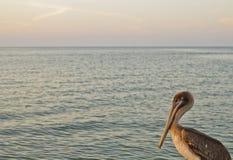 鹈鹕在海 免版税库存图片