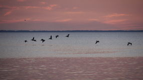 鹈鹕在飞行中在日落St Josephs海湾之后 免版税库存照片
