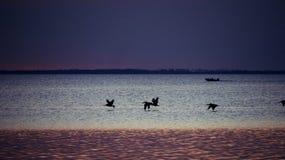 鹈鹕在飞行中在黄昏St Josephs海湾 图库摄影