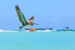 鹈鹕在飞行中,抓鱼 免版税库存照片