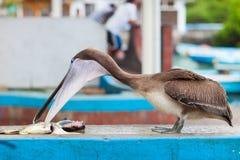 鹈鹕在鱼市上 免版税库存照片
