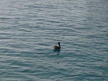 鹈鹕在水中 免版税库存照片