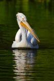 鹈鹕在绿色水中 白色鹈鹕, Pelecanus erythrorhynchos,鸟在黑暗的水中,自然栖所,罗马尼亚 在的鸟 库存图片