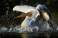 鹈鹕在绿色水中 飞溅在水中的白色鹈鹕 鸟在黑暗的水中,自然栖所,罗马尼亚 鸟在水h中 免版税库存照片