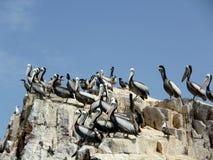 鹈鹕在Ballestas海岛 免版税图库摄影