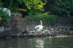 鹈鹕坐在iseletas的一个岩石在格拉纳达,尼加拉瓜 库存图片