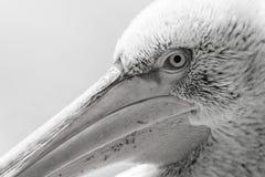 鹈鹕大鸟头宏指令 库存图片
