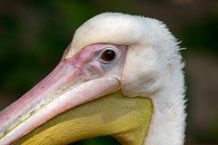 鹈鹕头,与大黄色额嘴,动物protecti的白色鸟 免版税库存照片