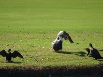 鹈鹕定象羽毛在沼泽地 图库摄影