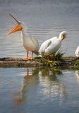 鹈鹕对鸟水家畜Wildlife常设湖克拉马思俄勒冈 免版税库存照片