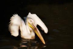 鹈鹕布拉格动物园 免版税库存图片