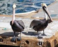 鹈鹕常设飞行在热带天堂在Los Cabos墨西哥 免版税库存照片