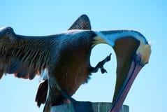 鹈鹕抓 免版税库存图片