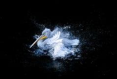 鹈鹕拍动翼 免版税图库摄影