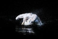 鹈鹕拍动翼 库存照片
