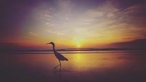 鹈鹕日出 库存图片