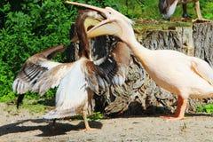 鹈鹕桃红色是大水禽 两战斗为食物的鹈鹕 免版税库存照片