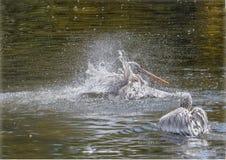 鹈鹕渔 库存图片