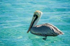 鹈鹕游泳在坎昆加勒比海  免版税库存照片