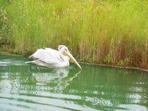 鹈鹕游泳在河 免版税库存照片