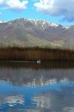 鹈鹕游泳在湖 免版税库存照片