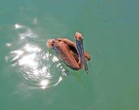 鹈鹕游泳在Cabo圣卢卡斯小游艇船坞在巴哈墨西哥 图库摄影