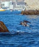 鹈鹕潜水到抓鱼的水里临近Los卡约埃尔考斯/土地在Cabo圣卢卡斯巴哈墨西哥结束 免版税图库摄影