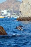 鹈鹕潜水在鱼的水中临近Los卡约埃尔考斯/土地在Cabo圣卢卡斯巴哈墨西哥结束 免版税库存照片