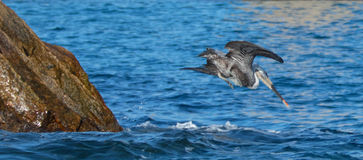 鹈鹕潜水在鱼的水中临近Los卡约埃尔考斯/土地在Cabo圣卢卡斯巴哈墨西哥结束 库存图片
