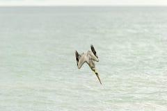 鹈鹕潜水 免版税图库摄影