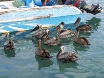 鹈鹕由渔夫, Puerto等候鱼阿罗纳,圣克鲁斯,加拉帕戈斯,厄瓜多尔港  库存图片
