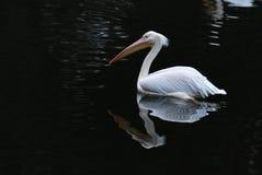 鹈鹕白色 免版税图库摄影