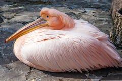 鹈鹕粉红色 免版税库存图片