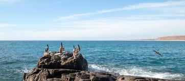 鹈鹕群在岩石的在喜瑞都在蓬塔罗伯斯靠岸在下加利福尼亚州墨西哥 免版税库存图片