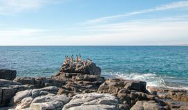 鹈鹕群在岩石的在喜瑞都在蓬塔罗伯斯靠岸在下加利福尼亚州墨西哥 库存图片