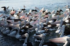 鹈鹕群在饲养时间的 免版税库存图片