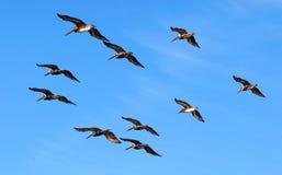 鹈鹕群按在明亮的天空蔚蓝背景的几何顺序  免版税库存图片