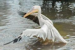 鹈鹕翼展在水中 库存图片