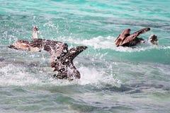 鹈鹕钓鱼 免版税图库摄影