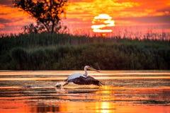 鹈鹕飞行在多瑙河三角洲的日出的,罗马尼亚 库存图片