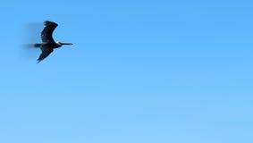 鹈鹕飞行 库存图片