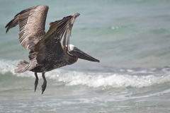 鹈鹕鸟动物区系热带尤加坦异乎寻常的墨西哥 库存图片
