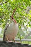 鹈鹕鸟 免版税图库摄影