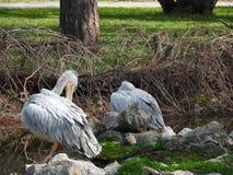 鹈鹕鸟 库存照片