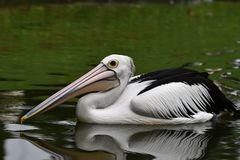 鹈鹕,是有袋子在他们的额嘴下的水禽,黑翼,有白色身体的 库存照片