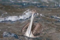 鹈鹕水 免版税库存照片