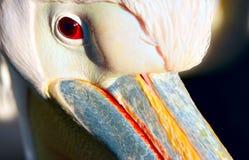 鹈鹕 免版税库存图片