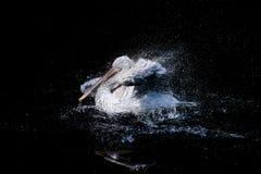 鹈鹕 免版税图库摄影