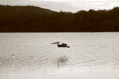 鹈鹕 免版税库存照片